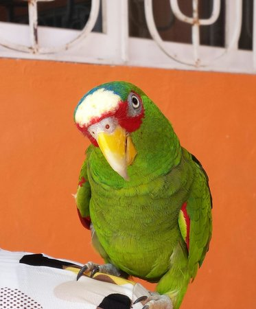 Hotel Hacienda Bacalar : pafelo - resident parrot