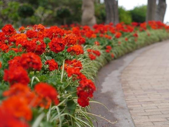 Giardini di Augusto: Beautiful geraniums in the gardens