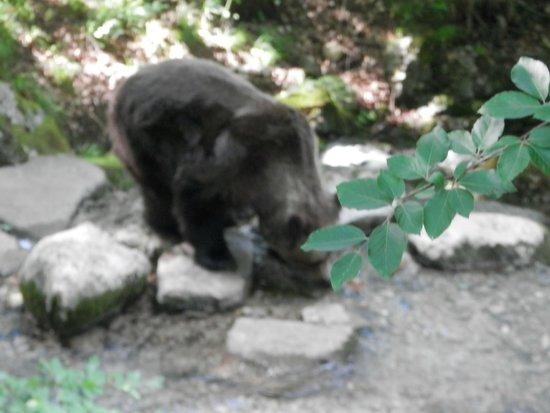 Spormaggiore, Italien: orso in libertà