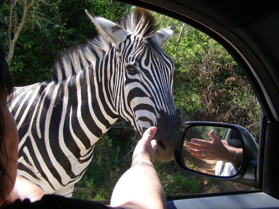 Leopard Walk Lodge: This zebra fell in love with my wife and was there to say goodbye when we left!