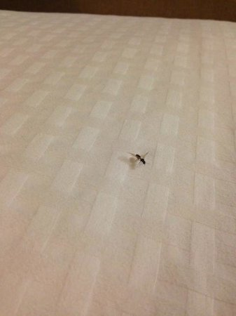 DoubleTree Suites by Hilton Hotel Dayton - Miamisburg: Bug on Bed