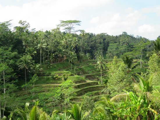 Terrace picture of tegalalang rice terrace ubud for Tegalalang rice terrace ubud
