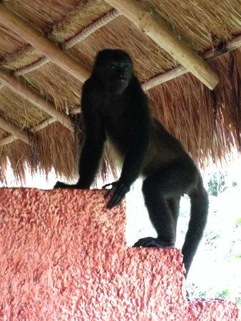 Iberostar Quetzal Playacar : Monkey on the balcony rm#2747