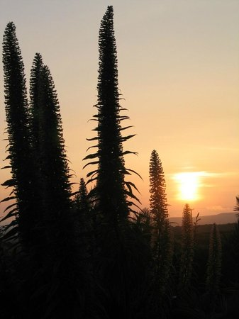 Ednovean Farm: Echiums at sunset in the gardens in June