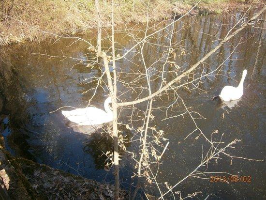 Kaunas Botanical Garden: Лебеди как ручные