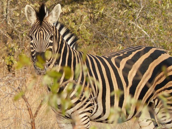 Umlani Bushcamp: Saw Zebras almost everyday.