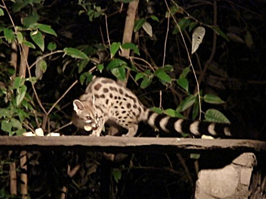 Fig Tree Camp : spotted genet
