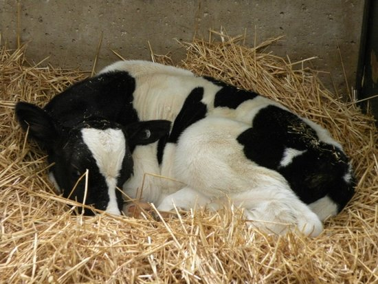Country Dairy: Calf