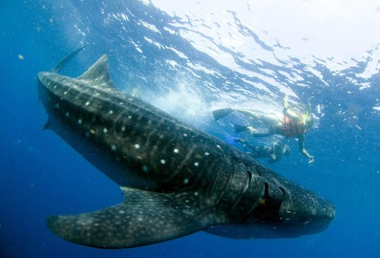 EcoColors - Day Tours : Amazing Whale Shark tour