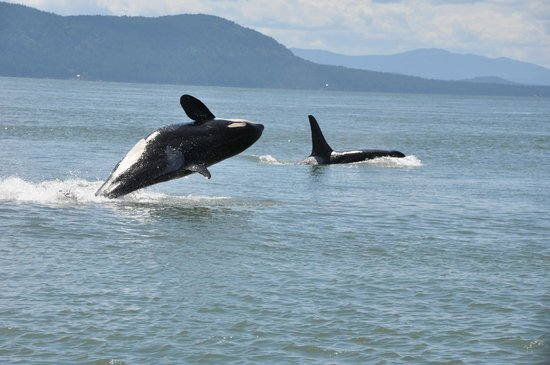 Wild Whales Vancouver: Orca sighting