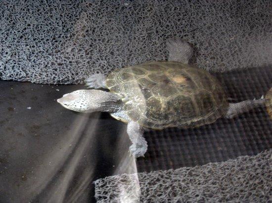 Georgia Sea Turtle Center: full grown terrapin