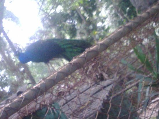 Zoologico de Americana: pavao