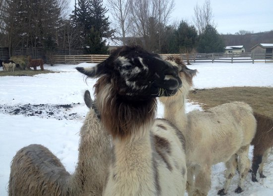 Kickapoo Valley Ranch Guest Cabins: Llama's greet you as you walk to the ranch!