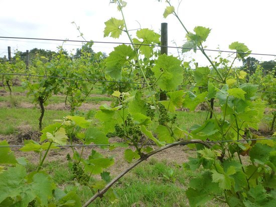 Sedlescombe Organic Vineyard: Just waiting for the grapes!