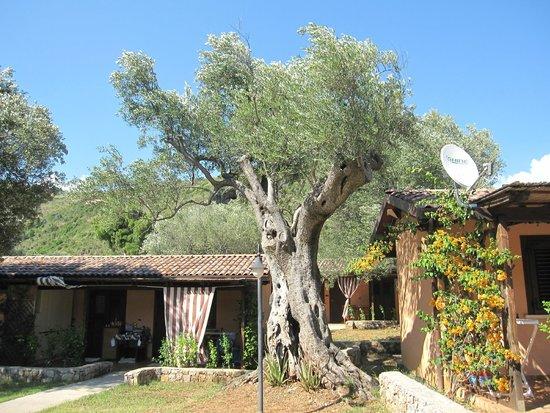 Villaggio Hotel Cala di Luna : olivo secolare