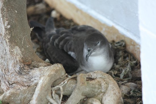 Kilauea Point National Wildlife Refuge : Wedge-Tailed Shearwater mom on her egg