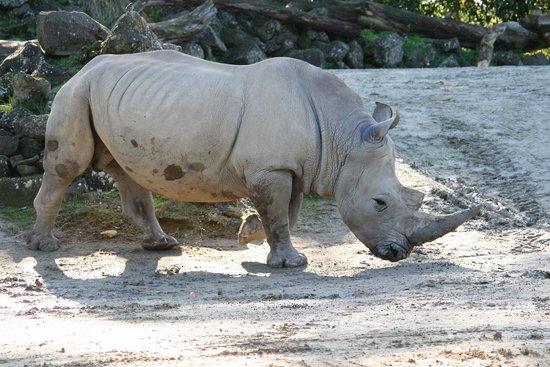 Auckland Zoo: Rhino