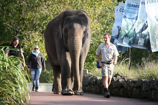 Auckland Zoo: Elephant