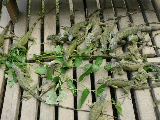 Green Iguana Conservation Project: Iguanas feeding