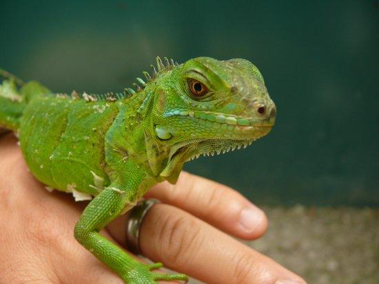 Green Iguana Conservation Project: Baby Iguana