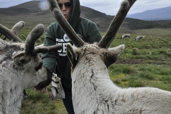 Cairngorm Reindeer Herd: feeding