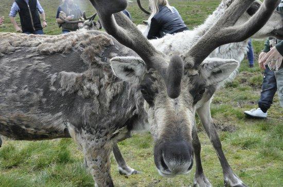 Cairngorm Reindeer Herd: reindeer