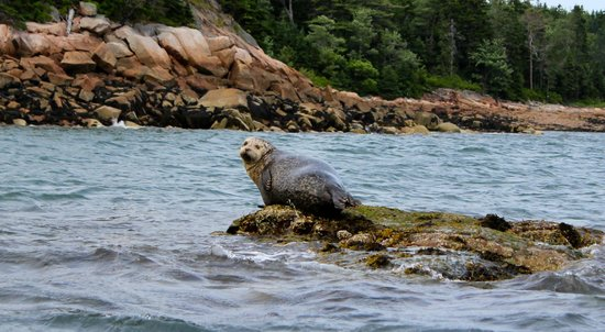 Mount Desert Campground: We saw this seal canoeing near the campground.