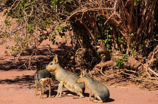 Parque Nacional Talampaya: Mara con su cria