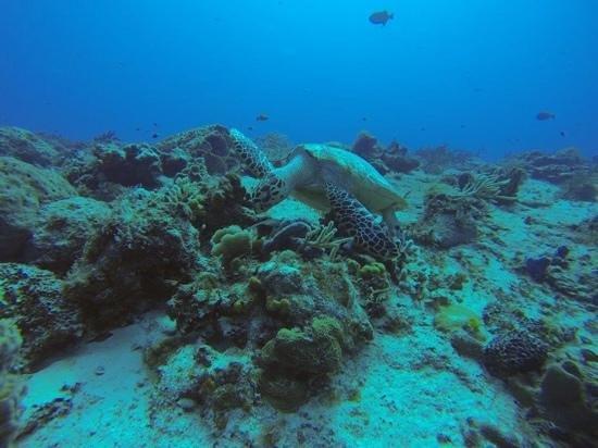 Iberostar Cozumel: turtle off of cozumel