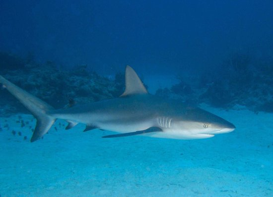 Small Hope Bay Lodge : Reef Shark