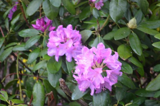 Iron Mountain Inn B&B: Rhododendrons are beginning to bloom