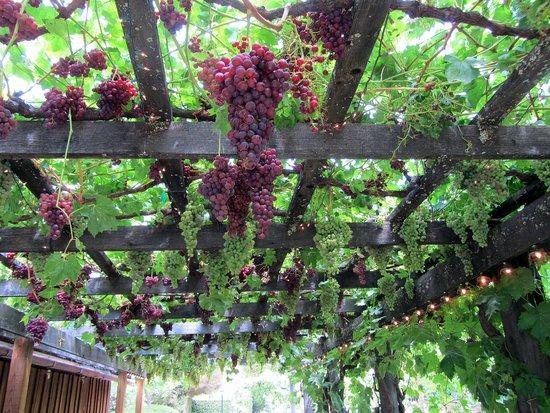 Healdsburg Country Gardens: Grape arbor on the barn ~ tasty table grapes.
