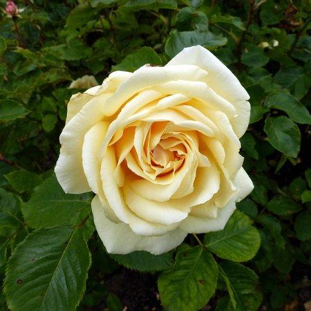 Regent's Park  - Queen Mary Rose Garden - rose