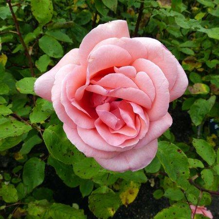 Regent's Park: Queen Mary Rose Garden - pink rose