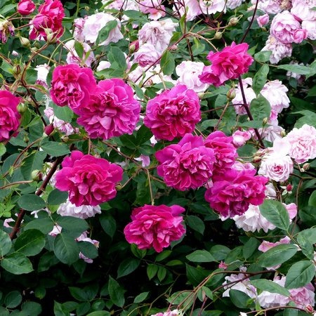 Regent's Park  - Queen Mary Rose Garden (2)