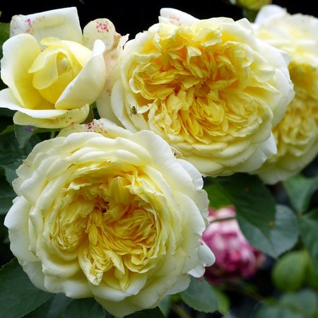 Queen Mary Rose Garden at Regent's Park - yellow roses