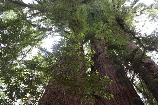 Henry Cowell Redwoods State Park: huge