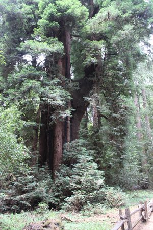 Henry Cowell Redwoods State Park: so pleasant
