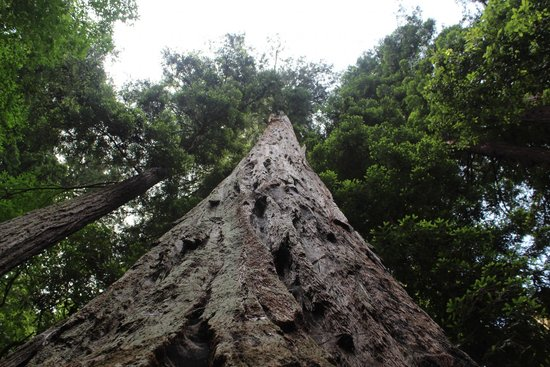 Henry Cowell Redwoods State Park: can't even see the top!