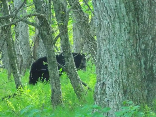 Big Meadows Campground: Black Bear-one of two