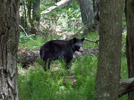 Big Meadows Campground: Young Black Bear