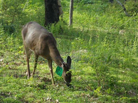 Big Meadows Campground : Deer in campground