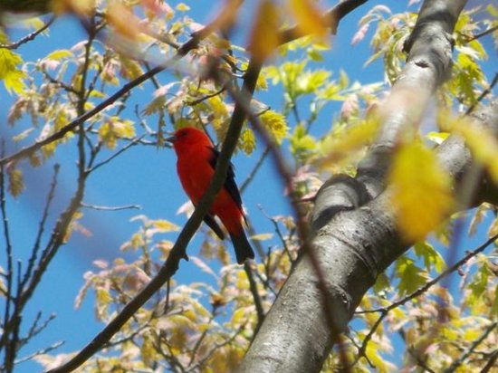 Big Meadows Campground: scarlett tanager