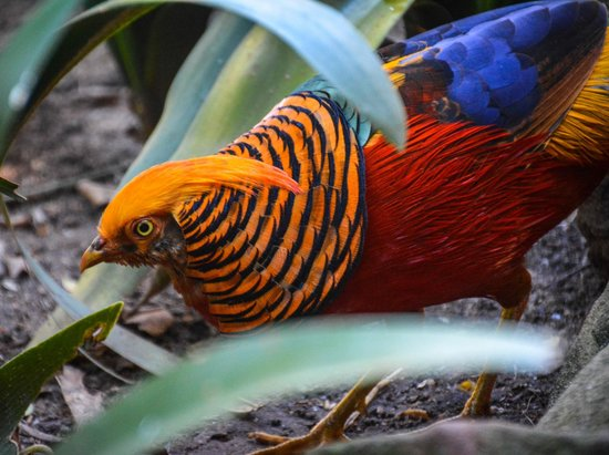 World of Birds: A red golden pheasant I think