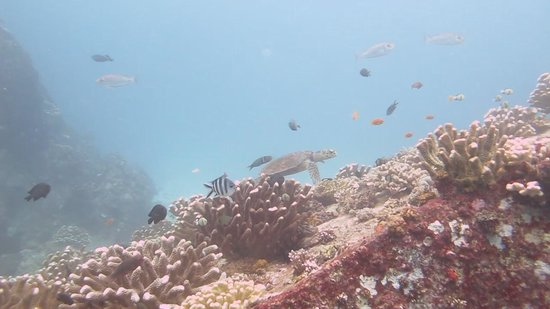 Whitetip Divers: A little snapshot of a turtle