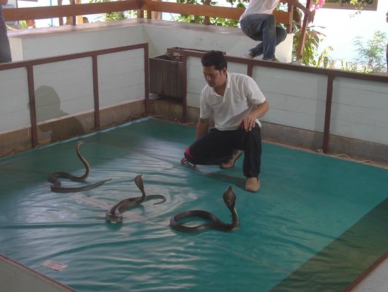 Samui Snake Farm: в боевой стойке