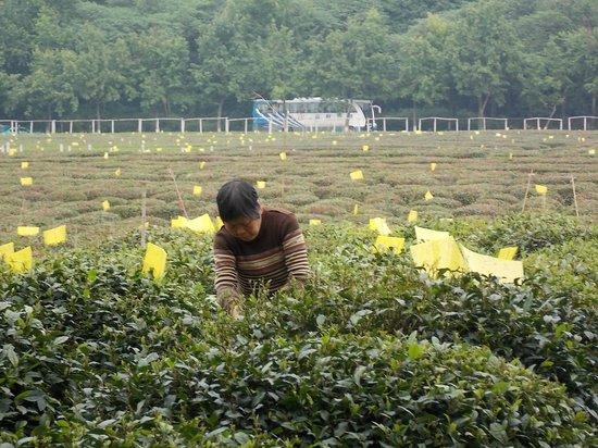 Resultado de imagem para cultura do cha em hangzhou