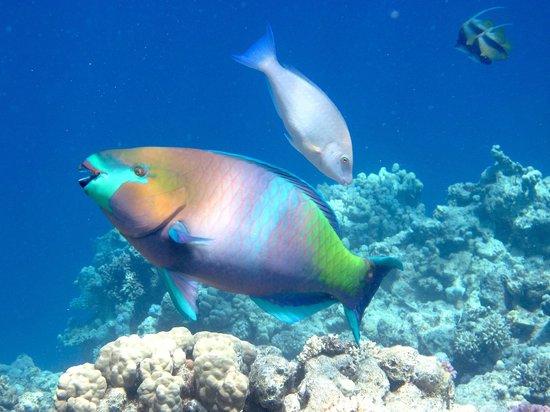 Tiran Island Hotel: Рыба-попугай