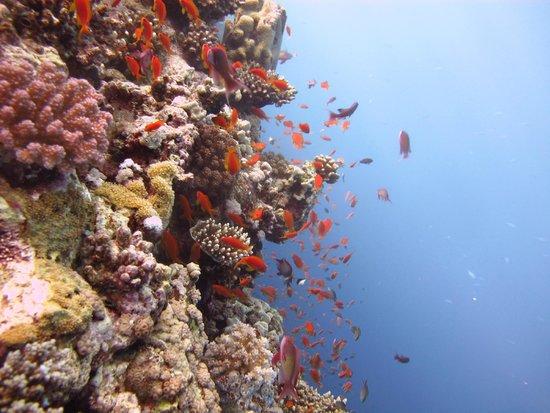 Tiran Island Hotel: Риф и его жители