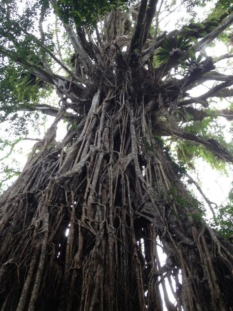 Atherton Tablelands: Visit cathedral fig tree (look out for turn off on left) before Yungaburra on way to Atherton. O